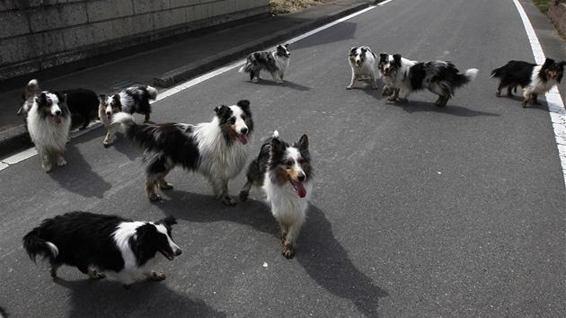 VIDEO  Opuštěná a hladová zvířata čekají nedaleko Fukušimy na své pány f9e48b3e06
