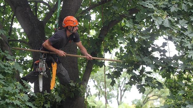 David Hora s kolegy pracuje na ozdravování stromů v Jihlavě. Nejvíce dřevin bude ošetřeno v parcích. Odborníci se zaměří i na zeleň ve školkách, školách a na hřbitovech.