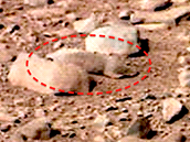 Marsovská krysa v detailu