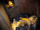 Merlin, a Border Terrier, hunts for rats in a dumpster as his owner Judy looks...