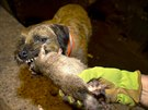Merlin, a Border Terrier, chews on a dead rat which he killed during an...