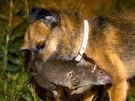 Tanner, a Border Terrier, kills a rat during an organized rat hunt on New York...