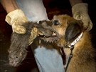 Tanner (R), a Border Terrier, kills a rat as Catcher (L), a...