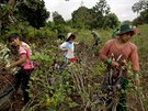 In this June 20, 2015 photo, youth pick coca leaves in Samugari, Peru. Most of...