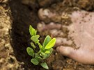 A seedling grows next to a barefooted Donato Mosco, as he weeds a coca field,...