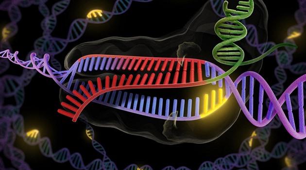 Enzym CRISPR (zeleně a červeně) se připojuje k dvojité šroubovice DNA (fialová...