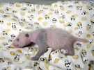 A panda cub born from mother panda Shin Shin on June 12 and confirmed female...