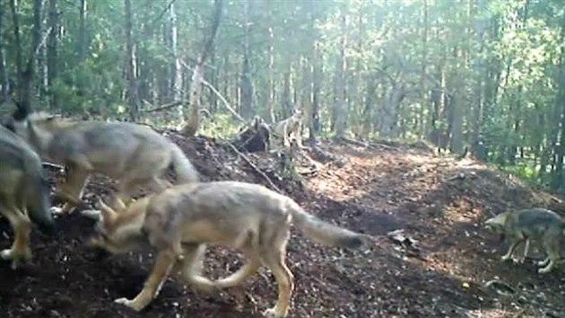 VIDEO  U Třeboně se rozmnožil pár vlků f1c3cd84ff