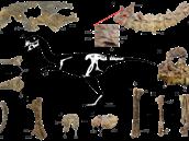 Kosterní diagram a dochované fosilní části kostry letos popsaného...