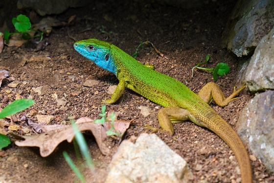 V nejteplejších oblastech republiky lze potkat ještěrku zelenou, naši největší...