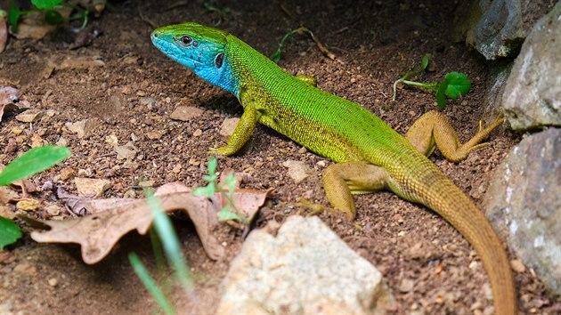 V nejteplejších oblastech republiky lze potkat ještěrku zelenou, naši největší ještěrku a exoticky vyhlížející krasavici.