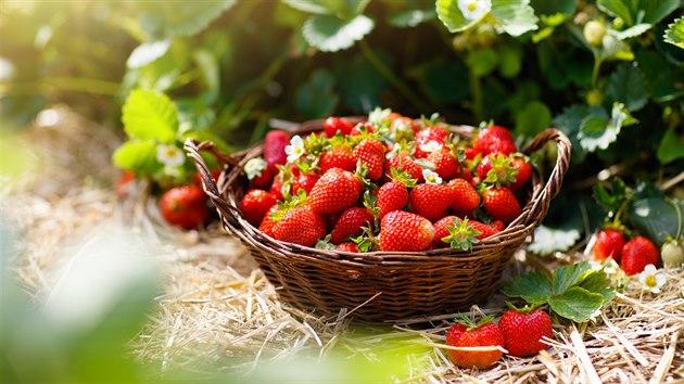 Nemáte vlastní zahradu? Nevadí. Jahody si můžete zajet natrhat i na farmy, které se jejich pěstování věnují.