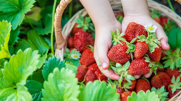Čerstvě natrhané jahody mají samozřejmě nejvyšší obsah vitaminů a dalších prospěšnıch látek.