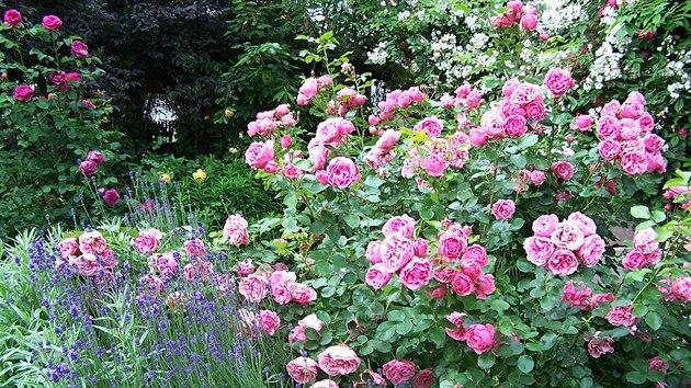 Růže a levandule k sobě doslova patří. Jednak jim to spolu sluší, levandule navíc chrání růže před škůdci.