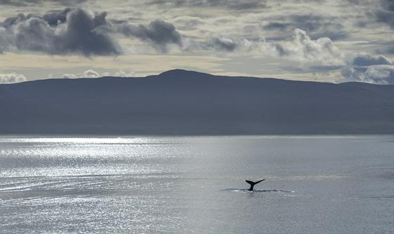 Vılet za velrybami se poměrně vydařil. Zahlédneme totiž i keporkaka, kterı si...
