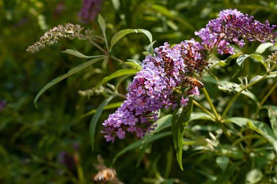 Komule láká nejen motıly, ale i další hmyz. Od včel po zlatohlávky.