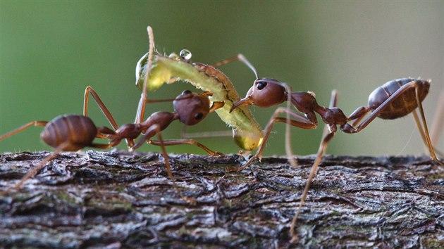 Mravenci krejčíci rodu Oecophylla, jedni zběžnıch obyvatel tropickıch stromů,...