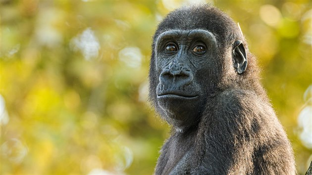 Ajabu ve venkovním vıběhu, kterı si gorily rády užívají za pěkného podzimního počasí.