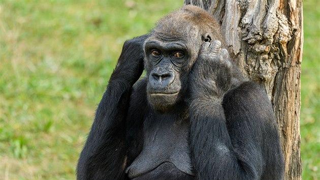 Samice Kijivu, matka téměř dospělıch samečků Kiburiho a Nurua.