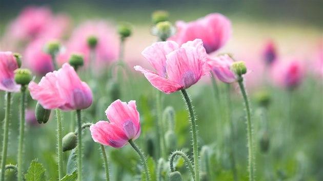 Kvetoucí makové pole