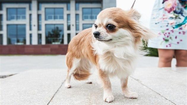 Ve městech se malí psi potıkají s přízemní vrstvou prachu.