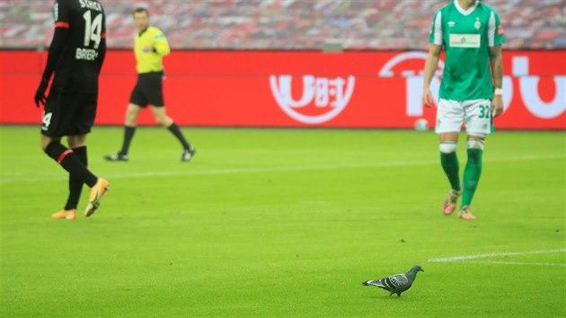 DIVÁK. Utkání Leverkusenu s Werderem Brémy navštívil holub.