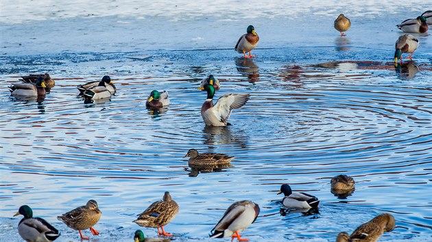 Na nezamrzlé části rybníka v obci Zlivice zůstává několik desítek kachen.