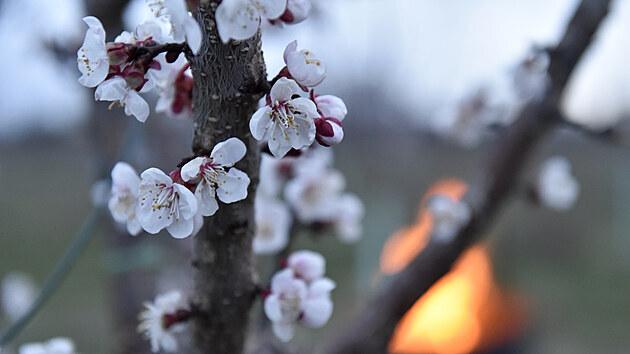 Aby mohli počítat s plnou úrodou, potřebují ovocnáři uchránit zhruba sedmdesát procent květů meruněk.