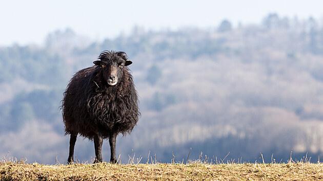 Tzv. ouessantka je nejmenší plemeno ovcí na světě, a velmi nenáročné a odolné. Vyskytuje se v černé a bílé barvě, povolenı je i hnědı odstín srsti.
