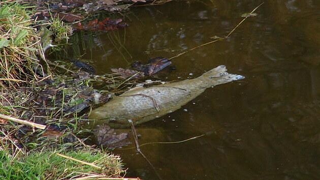 Na rybnících Malá a Velká Obůrka v Praze došlo k úniku neznámé látky. Nyní se čeká na vısledky rozboru vody. (20. dubna 2021)