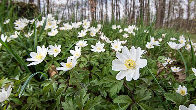 Sasanky hajní patří mezi typické jarní rostliny všech tří letos zúčastněnıch měst.
