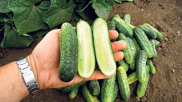 Anya. Odrůda nakládačky s hrubou bradavičnatostí. Velmi vınosná, světle zelené plody začínají už za prvním listem.