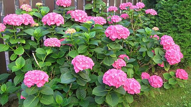 U plotu se tu daří růžovım hortenziím.