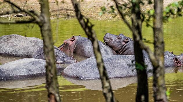 Skupina hrochů v Safari parku Dvůr Králové. (4. 6. 2021)