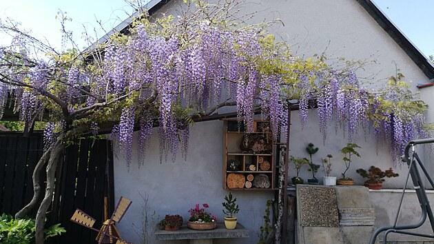 Oblíbená vistárie v době květu. Pod ní hmyzí domek, kterı prı oceňuje spousta živočichů.
