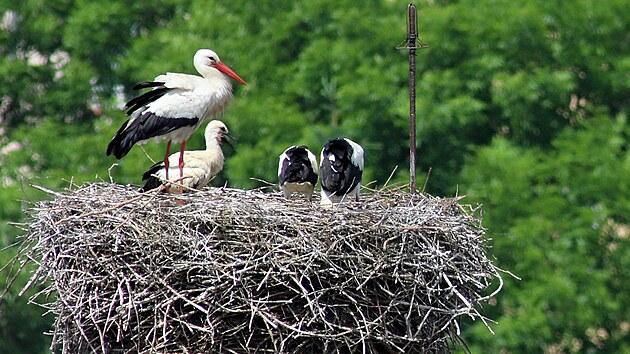 Tři mláďata v čapím hnízdě uprostřed Chebu na komíně nad hypermarketem čekají se samcem na přílet samice s krmením.