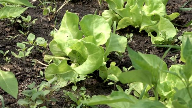Hnojivo nesypejte na listy, které pak budete konzumovat.