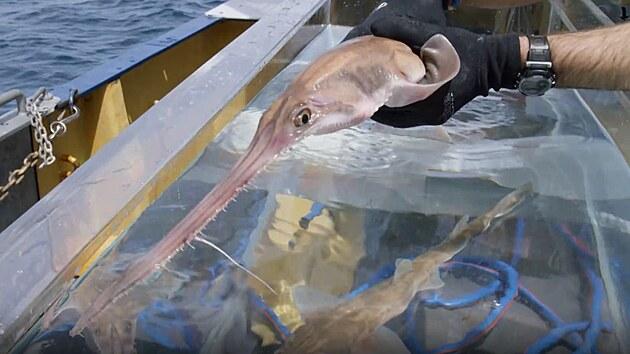 Žralok pilonosı