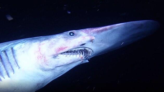 Žralok šotek má vıraznı rypec.