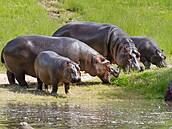 Pasoucí se hroši působí na břehu jezera idylicky, podmínky mají ve Dvoře...