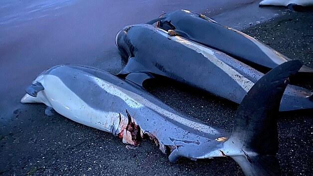 Více než 1 400 delfínů na Faerskıch ostrovech padlo za oběť tradičnímu lovu kytovců, při kterém jsou tato zvířata nahnána na mělčinu a usmrcena kvůli masu a tuku. (14. září 2021)