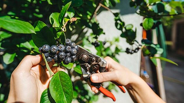 Ideální je trsy černıch jeřabin při sklizni ostříhat zahradnickımi nůžkami a při zpracování plodů v kuchyni můžete použít gumové rukavice.