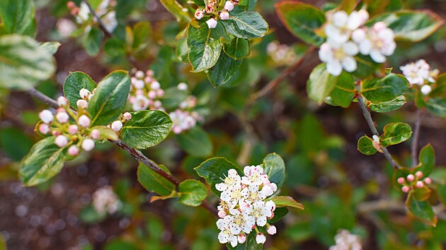 Medonosnı temnoplodec neboli černı jeřáb či aronie v květu.