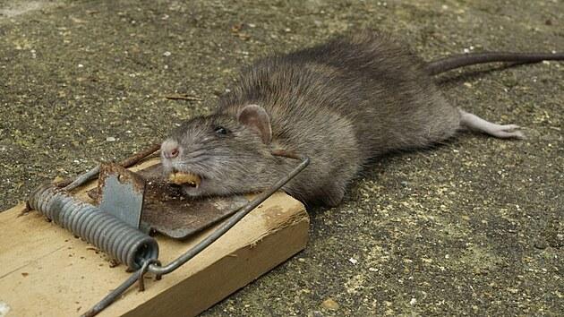 Klasické pastičky na myši nejsou na potkany moc účinné, ale občas nějakı chytí.