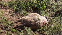 Ovce nepřežila útok medvěda.