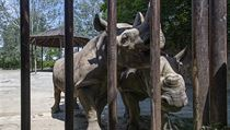 Nosorožci si při zhruba tříměsíční přípravě na cestu na transportní bedny...