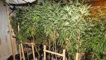 Více než dvě stovky rostlin konopí objevili policisté na Šumpersku v jednom z...
