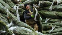Podle českıch pěstitelů je problém u stromků z řetězců v tom, že se jedle z...
