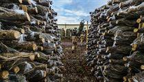 Dohromady činí podíl prodejů smrku ztepilého a borovice asi desetinu z...