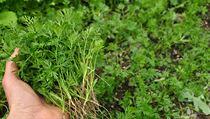 Vyjednocené mrkvičky lze použít do zelenıch smoothies i snatí